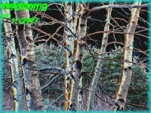 Aqua  Birches