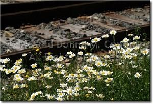 Railroad Daisies