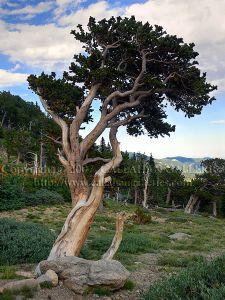 Live Bristlecone Pine