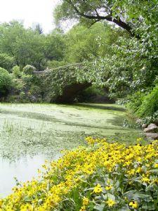 Central Park Daisies