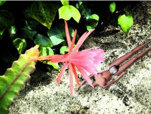 Cardinal,Michael-Cactus Flower