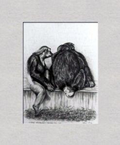 Chimpanzees, Copenhagen Zoo