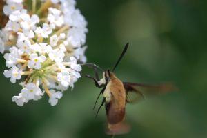 Staley,Scott-hummingbird moth
