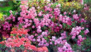 Li,Bo-Rose garden