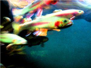 Cardinal,Michael-Fish #2