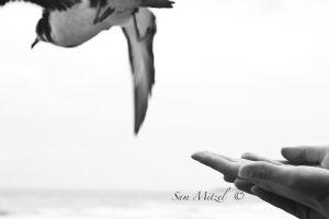 mitzel,sam-Shearwater Release