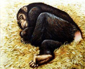 Chimpanzee sleeping