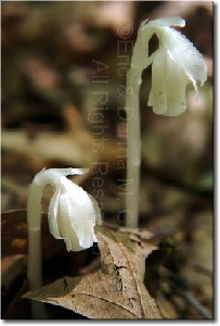 Indian Pipes
