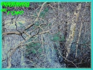 Birches by a Lake